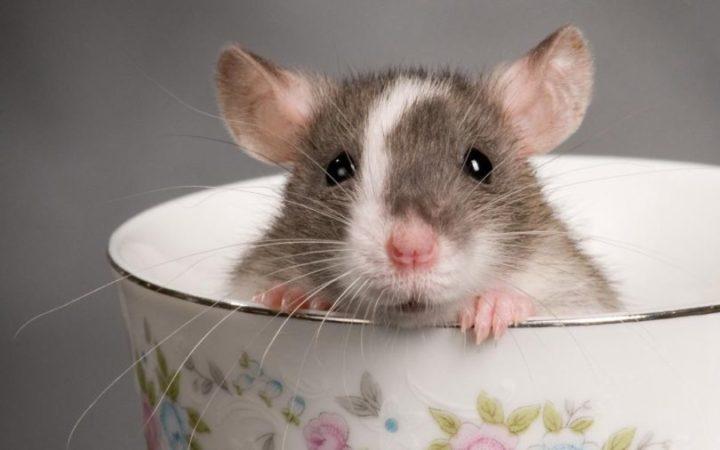 sonhar com ratos